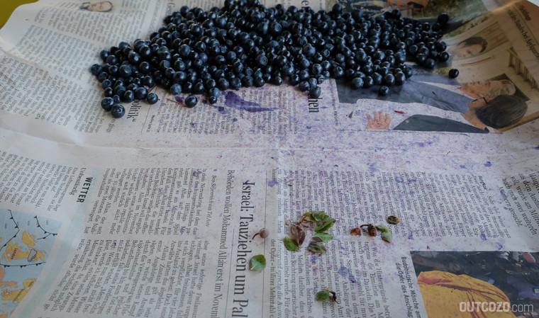 Trennen von Blaubeeren und Blättern auf Zeitungspapier