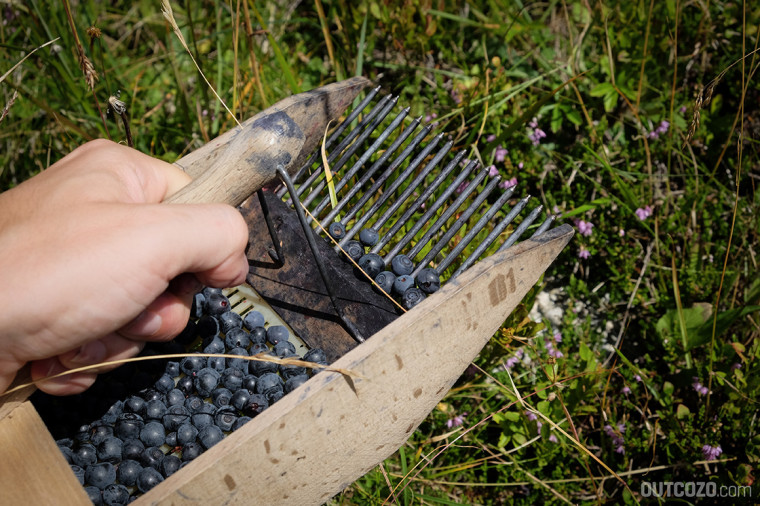 Ernten von Blaubeeren mit einem Beerenkamm