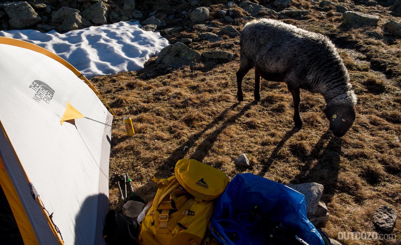 Neugieriges Schaf vor dem Zelt